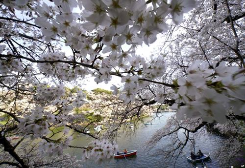 во Токио процеветаа јапонските цреши