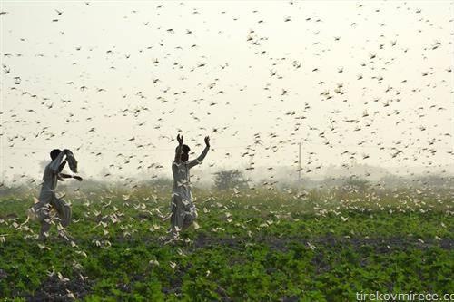фармери бркаат скакулци по полиња во Пакистан