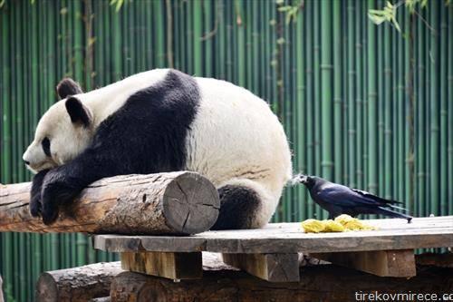 зошто служи крзното на оваа панда во ЗОО во Пекинг. За гавранот да прави гнездо