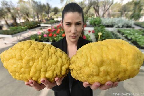 во задар одгледани лимони тешки 1,84 кг