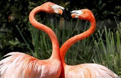 заљубени фламингости во ЗОО во Мадрид
