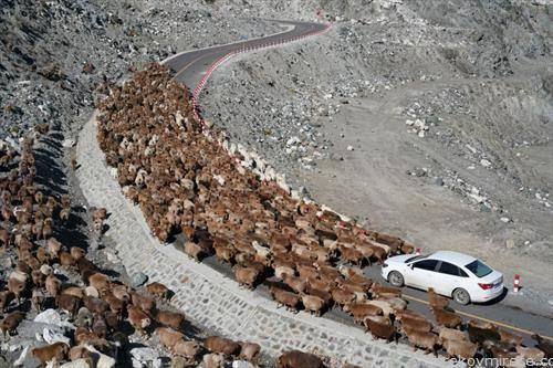 крави мигрираат од високти во ниските делови на Кина