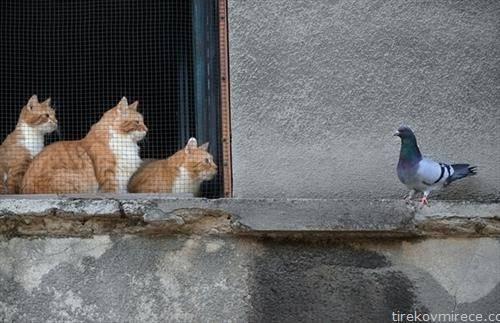 така блиску а толку далечна, мачки и гулапче на прозор во Букурешт