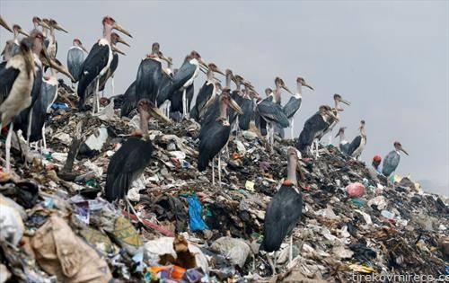 птици грабливки на ѓубриште во Најроби Кенија