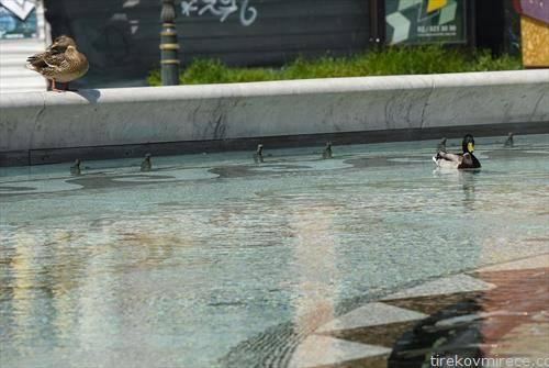 патки во фонтаната во центар на Скопје