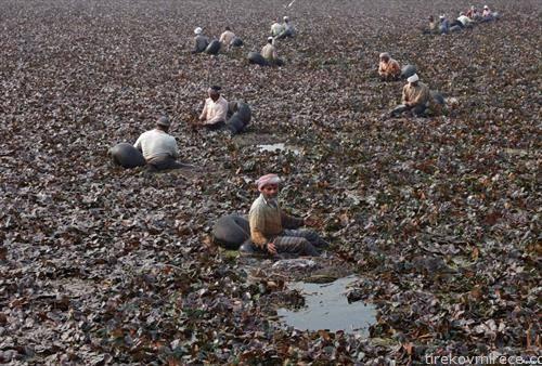 се собираат водени костени во Индија