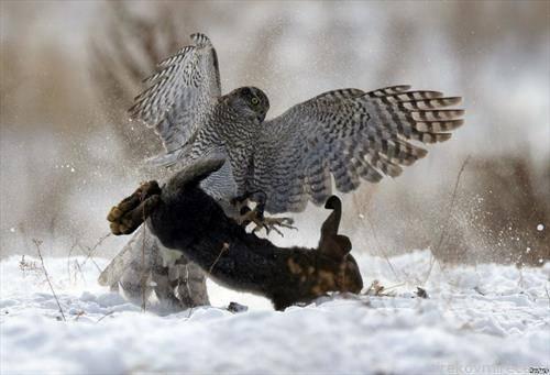 сокол лови заек на традиционален лов во Казахстан