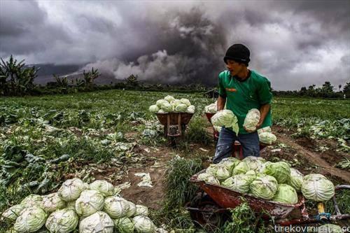 додека вулкан еруптира, жител на Индонезија  бере   зелки