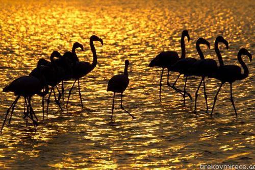 фламинга на залез на сонцето во Израле