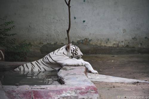 редок бел тигар во зоо во Пакистан