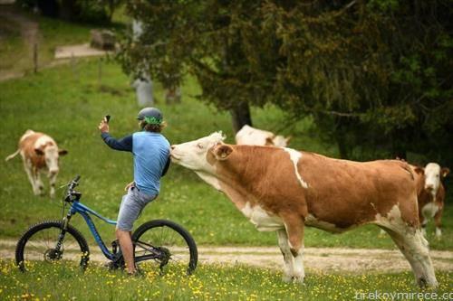 селфи со крава во баварија