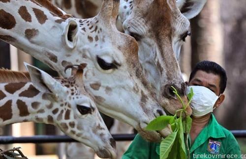 се прехрануваа жирафи во зоо во Џакарта.