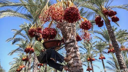 се берат плодови од палми, во Палестина