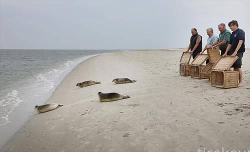 морски фоки се пуштаат во природната средина