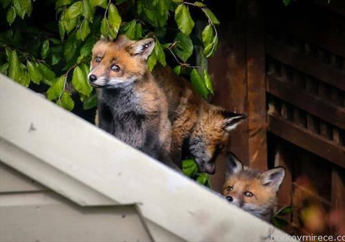 лисици во Даблин