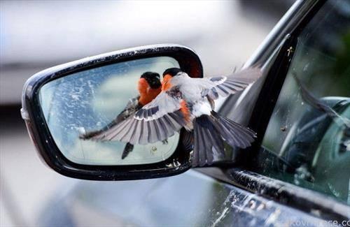 птица се огледува на ретровизор.