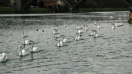 река на лебедите во Марибор