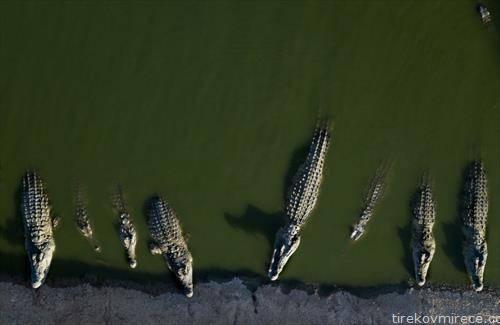 крокодили на фарма во Јордан чекаат храна