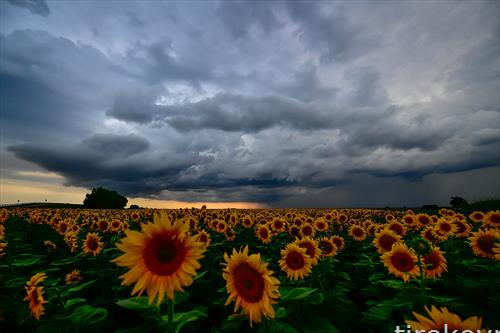 сончогледови полиња во Унгарија