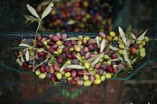Берба на маслинки во Монтерно, јужна Франција