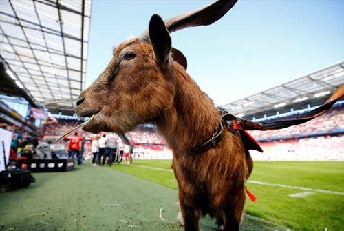 екипата на ФК Келн во живо со нивната маскота јарец на натпреварот против  Баерн Минхен