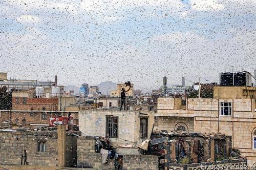 Човек што стои на покривот се обидува да фати скакулци  во јеменската престолнина Сана