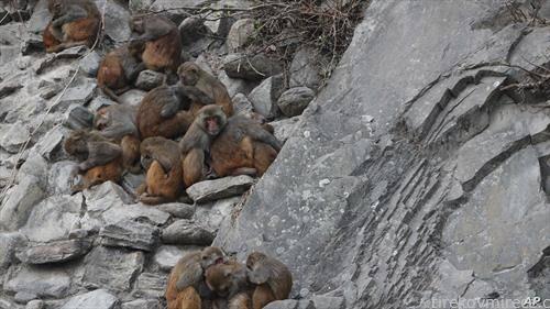 мајмуни се заштитуваат од студот во Непал