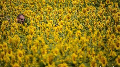 полиња со сончоглед во Украина