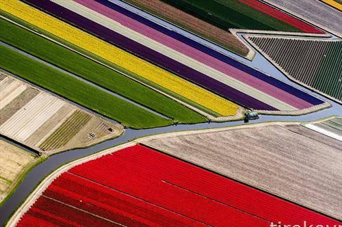 цветни полиња со лалиња во холандија од дрон