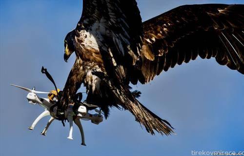 птица грабливка фаќа дрон