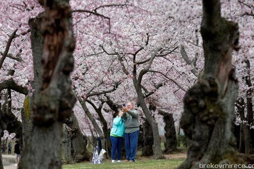 во Вашингтон  процеветаа јапонските цреши