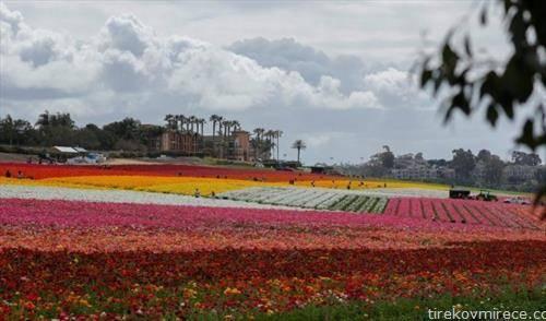 Струга   Одмор за очите и душата  цветните полиња на Карлсбад, Калифорнија