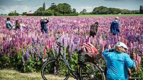 Данци уживаат во полиња со цвеќе близу Копенхаген