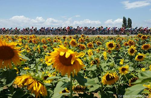велосипедската трка Тур д франс низ полиња со сончоглед