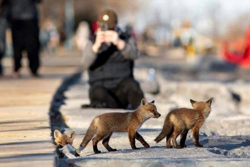 фамилија лисици, по улиците на Торонто