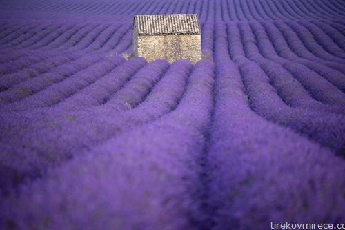 полиња со лаванда во јужна Франција