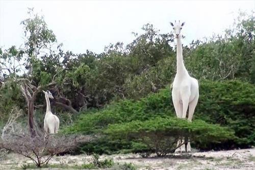 овие две ретки бели жирафи во Источна Ксенија биле убиени од ловокрадци