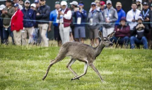 на голф натпреварот во Калифорнија, втрча срна