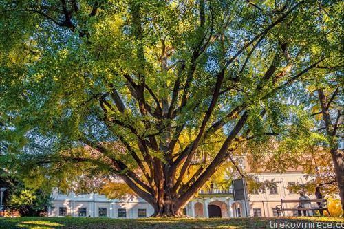 дрво на гинко  старо 242 години во Дарувар Хрватска