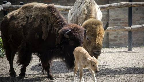 Ретрик беле бизон е роден во зоолошката градина во Белград. се раѓа еден на 10 милиони