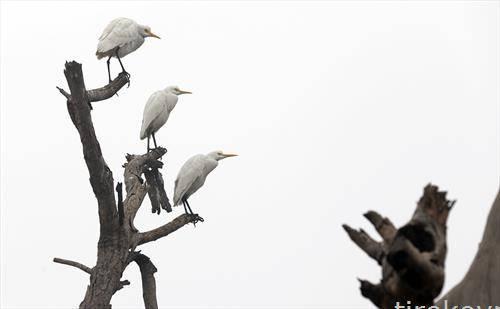 Бели чапји на листопадно дрво на ладно, магливо утро во Индија