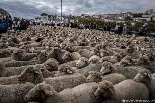 протестираа сточарите во Лион, Франција со овците на улица