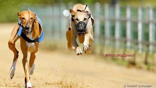 трка на кучиња во германскиот град Гелзенкирхен. Овие животни достигнуваат брзина и до 70 километри на час, бркајќи лажен зајак