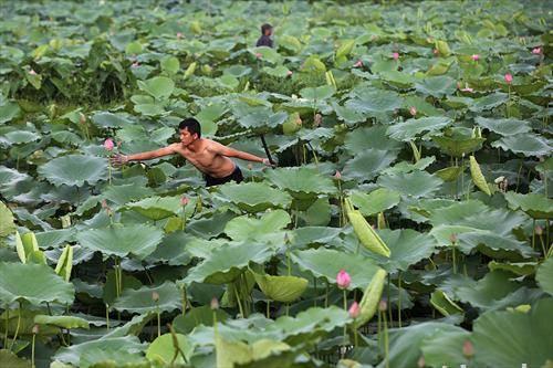 Човек собира лотосов цветови на езеро во Ханој, Виетнама