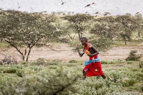 инвазија на скакулци во Кенија 1
