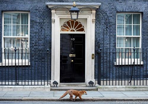 лисица се шета пред премиерскиот дом во Лондон