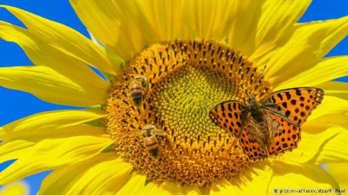 бројни пеперутки, пчели и други инсекти во потрага по нектар во цветовите на сончогледите