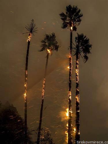 горат палми по пожарот во Калифорнија
