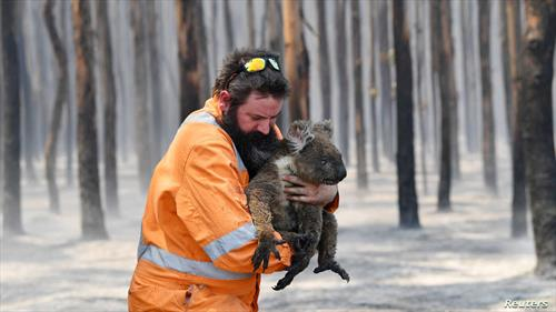се спасуваат коали од пожарот во Австралија