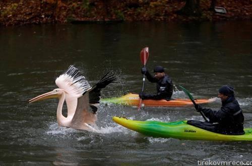 зоо чувари фаќаат пеликан за да  го однесат во прифатилиште